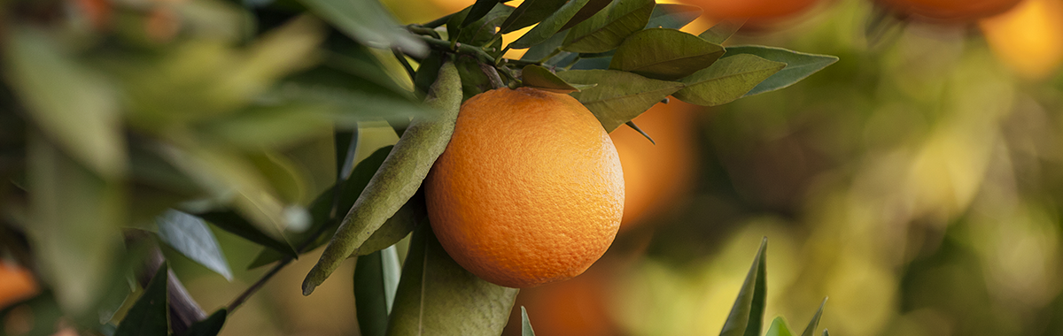 Study: why does orange flavonoide reverse obesity?